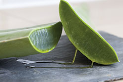 L'Aloe vera, la plante qui fait du bien !