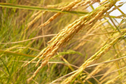 Farine de riz : bienfaits et utilisations