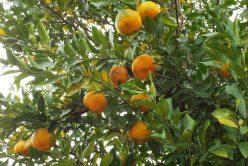 Bergamote, bienfaits et utilisations