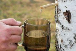 Cure détox de printemps : Les bienfaits de la sève de bouleau